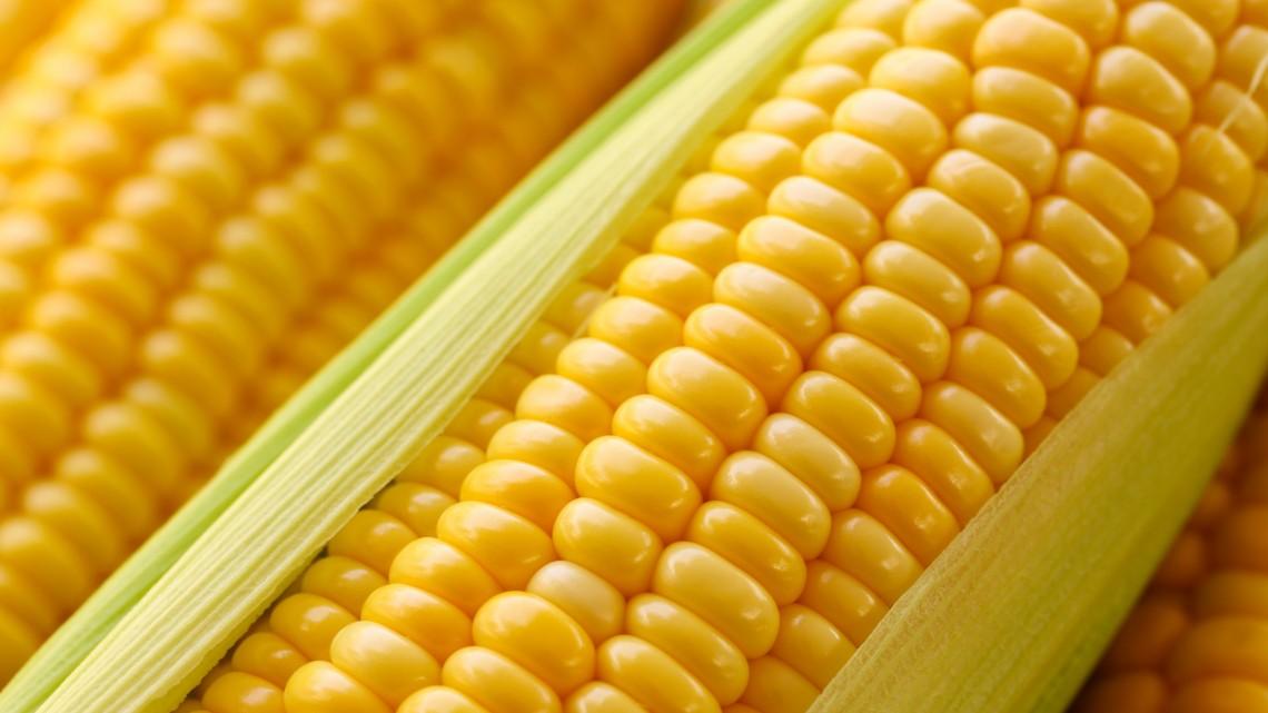 Magyar sikertörténet: hazai kukoricát eszik fél Európa