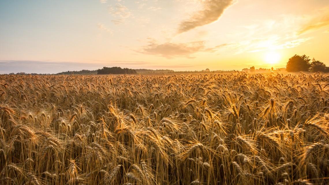 Nem fenyeget az éhhalál: a betakarítás jó ütemben halad