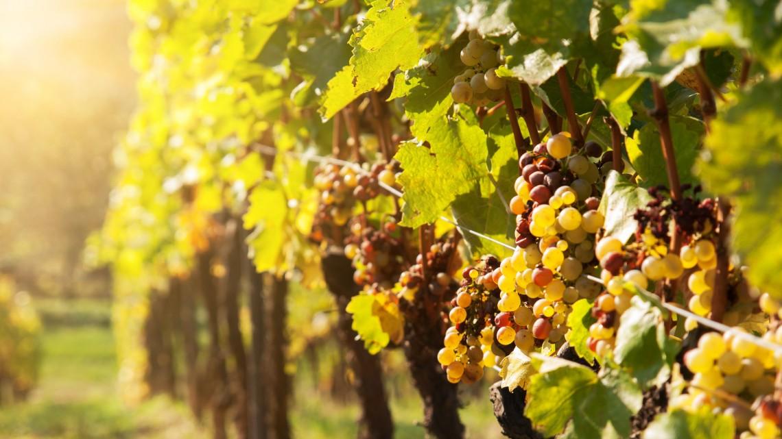 Kommersz borból csúcsminőség: elit balatoni borokkal erősítene az ágazat