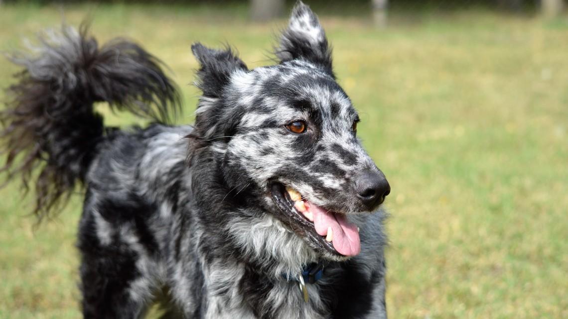 Magyar kutya nyerte a legmudibb mudi díját!