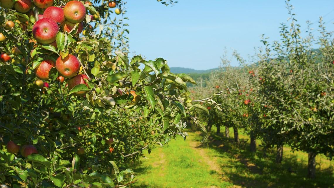 Dőzsölhetnek a magyarok: brutális termés volt idén kukoricából és almából