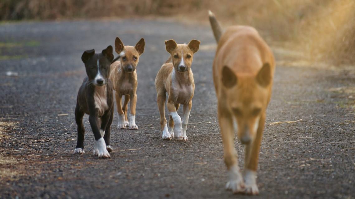 Falkába verődve vadásznak a kóbor kutyák Békés megyében