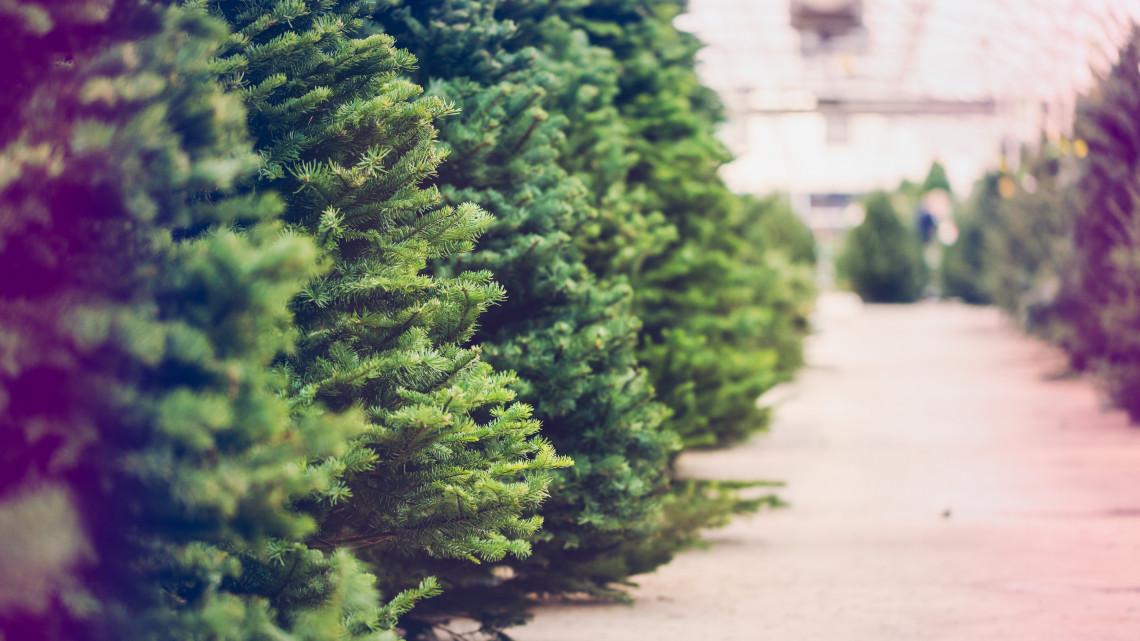 Elkezdődött a roham: már árulják a karácsonyi fenyőfákat