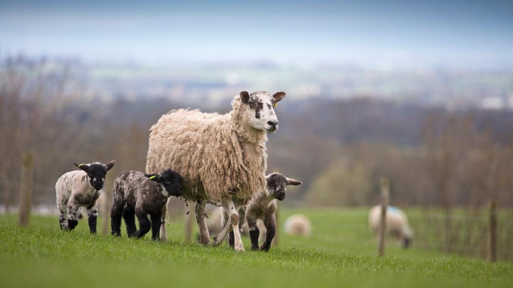 Közelednek az ünnepek: egyre drágul a bárányhús ára