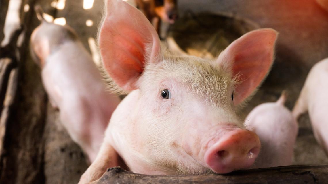 Még nagyobb összegből folytatódhat a sertés állatjóléti támogatási program