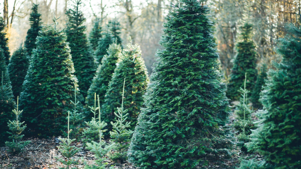 Valódi karácsonyfát, vagy inkább műfenyőt? Segítünk a döntésben!