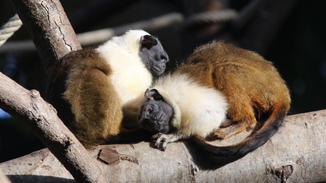 Szerelem az állatkertben: párt kapott a csupaszpofájú tamarin Szegeden