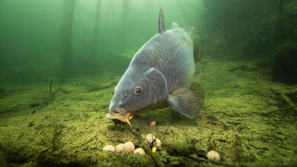 Idén karácsonykor is lesz elég hal: az árcéduláknak viszont nem fognak örülni a háziasszonok