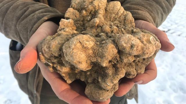 Elképesztő méretű szarvasgombát találtak Baranyában