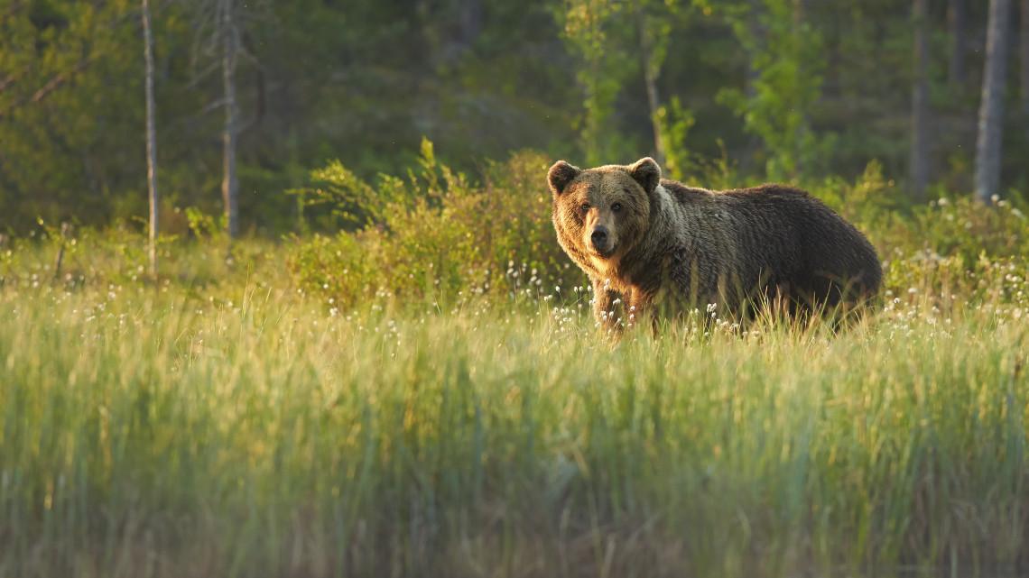 Ismét felbukkant egy medve Észak-Magyarországon