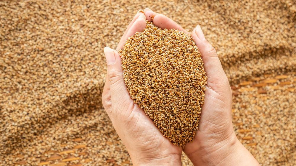 33 új kukorica hibrid vett részt az idei fajtakísérletben