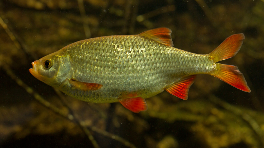 Kiderült: még csalással sem győzhető le az év hala