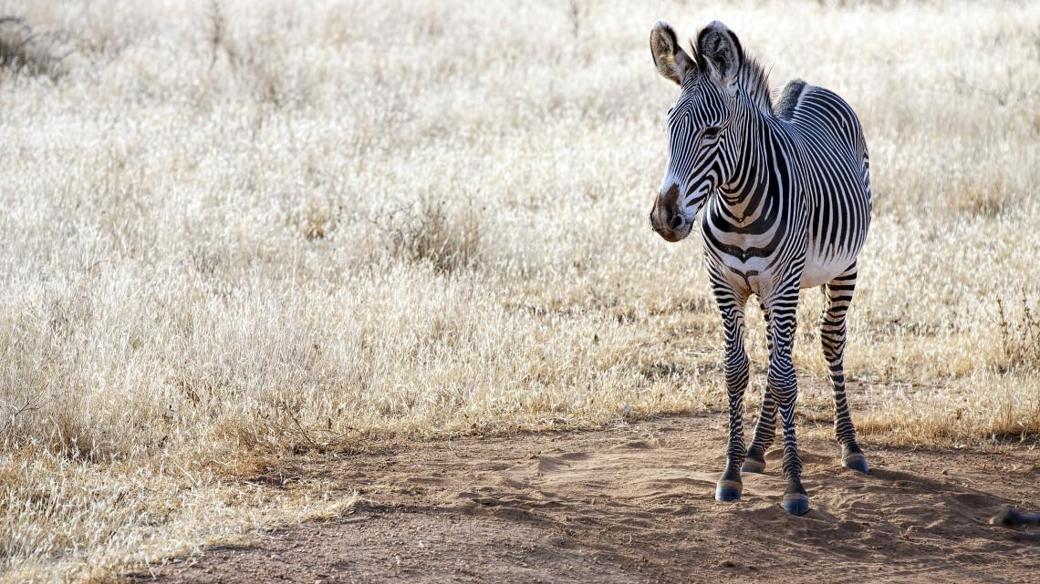 Megszületett az év első állatbébije: grévy-zebra csikó látta meg a napvilágot Nyíregyházán