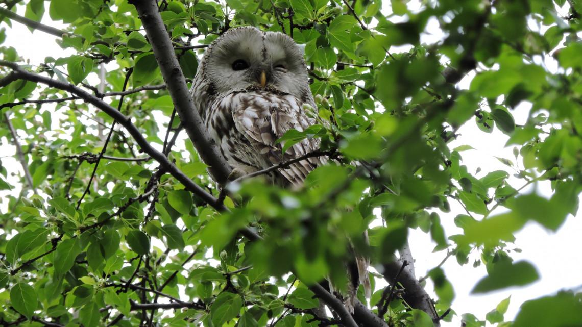 Madarászok, figyelem: hétvégén felmérik az erdei fülesbaglyok telelőhelyeit