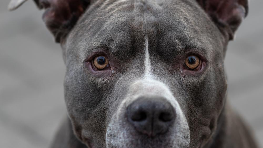 Brutális támadás Somogyban: 3 pitbull esett neki a 13 éves fiúnak