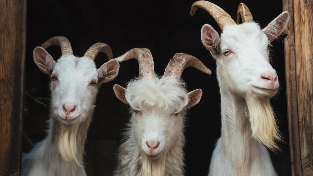 Szörnyű körülmények között, pincében tartanak 130 kecskét Érden