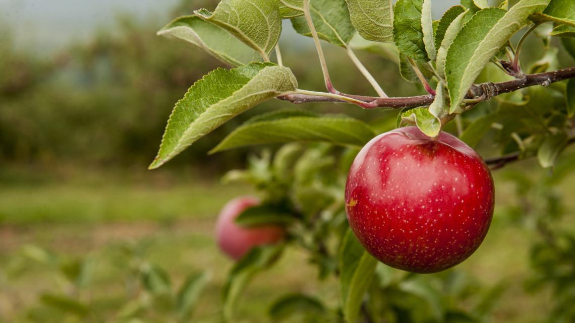 Senkinek sem kell a magyar alma: rájár a rúd a gazdákra