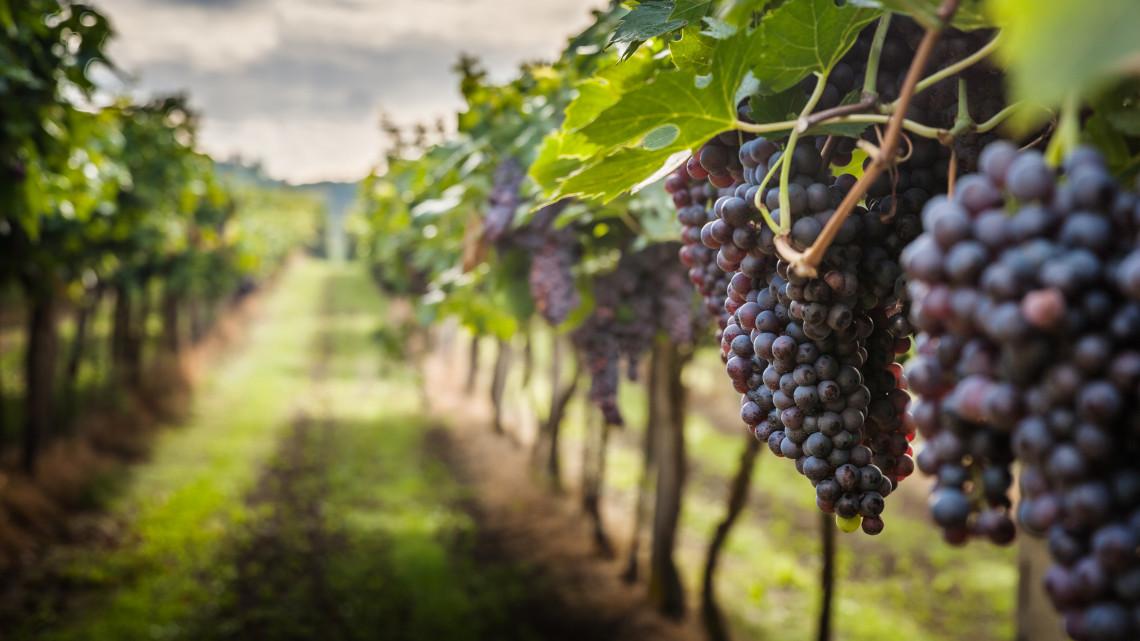 Jó éve lehet a borászoknak: bőséges termés várható