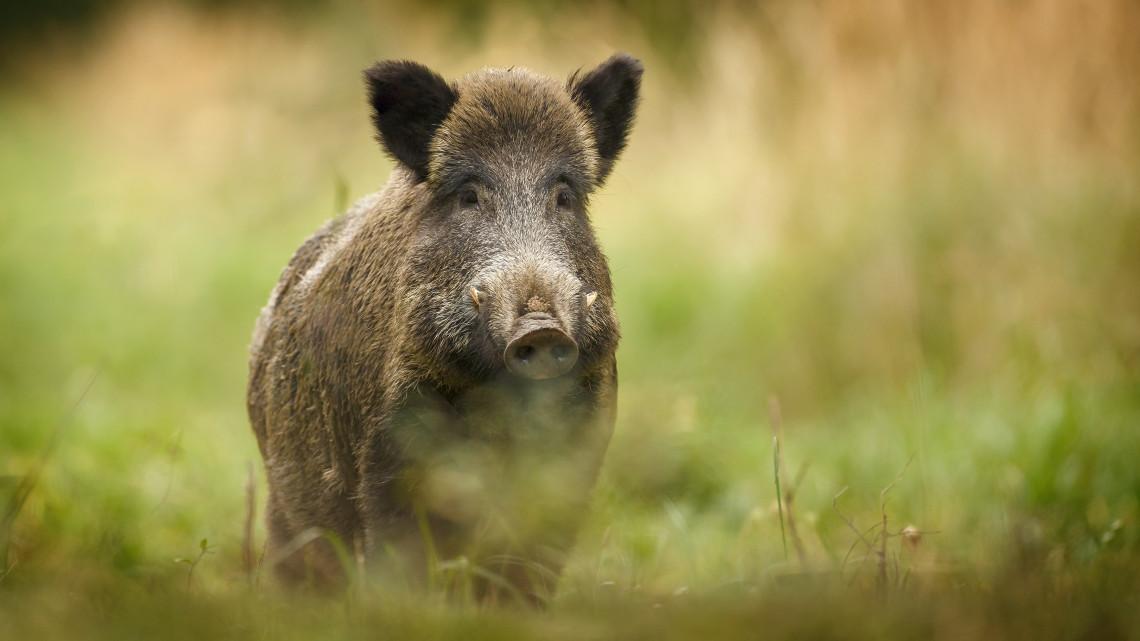 A sertéspestis miatt járványügyi vizsgát kell tennie a vadászoknak