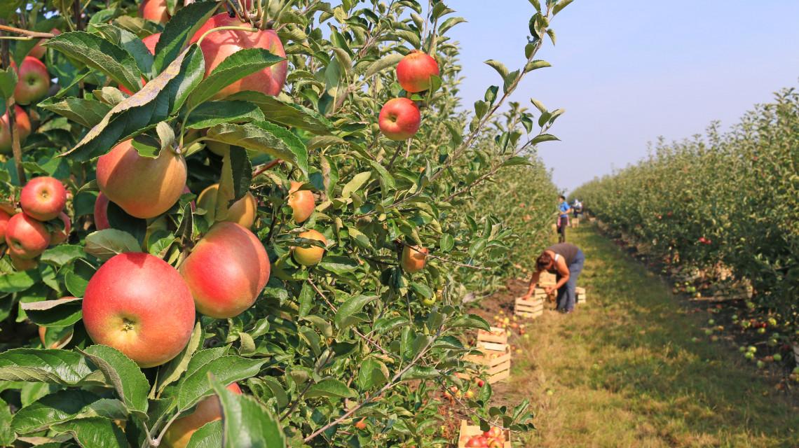 Közmunkások szedik az almát Szabolcsban: ennyivel egészíti ki a bérüket az állam