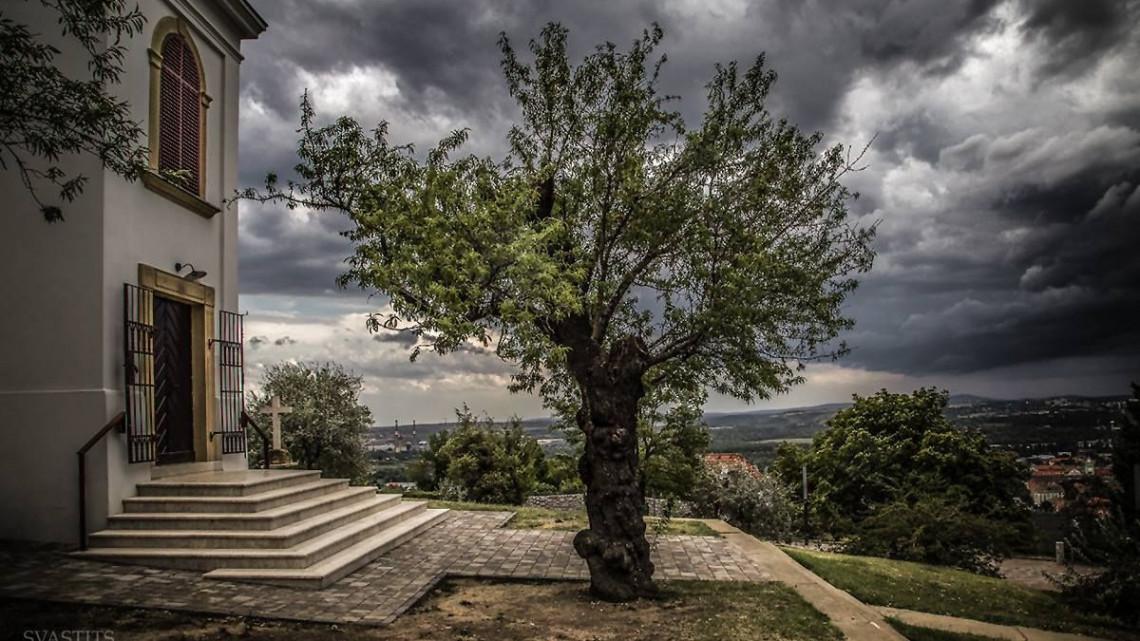 Több mint százéves mandulafa képviseli hazánkat az Európai Év Fája versenyen