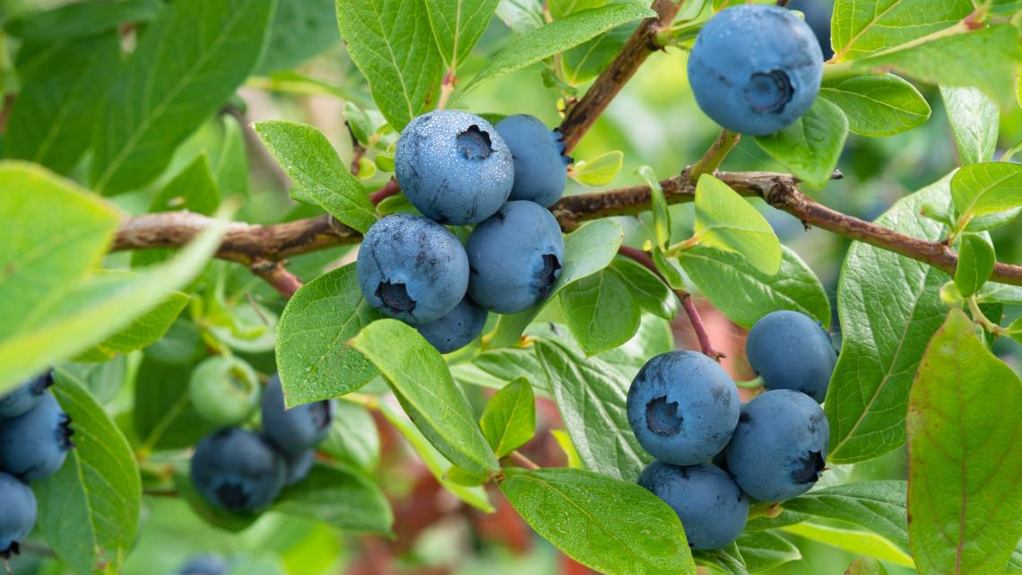 Ilyen egyszerűen, fillérekből termeszthetsz otthon áfonyát: 5 lépésben a szüretig