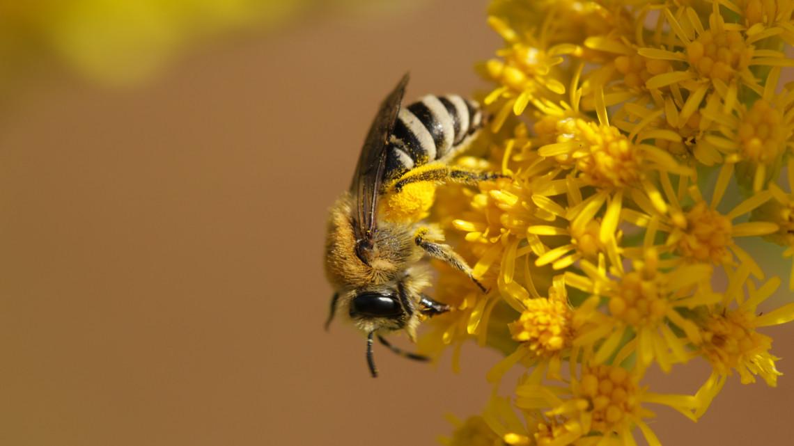 Intelligensebbek a méhek, mint gondoltuk: úgy számolnak, mint egy első osztályos