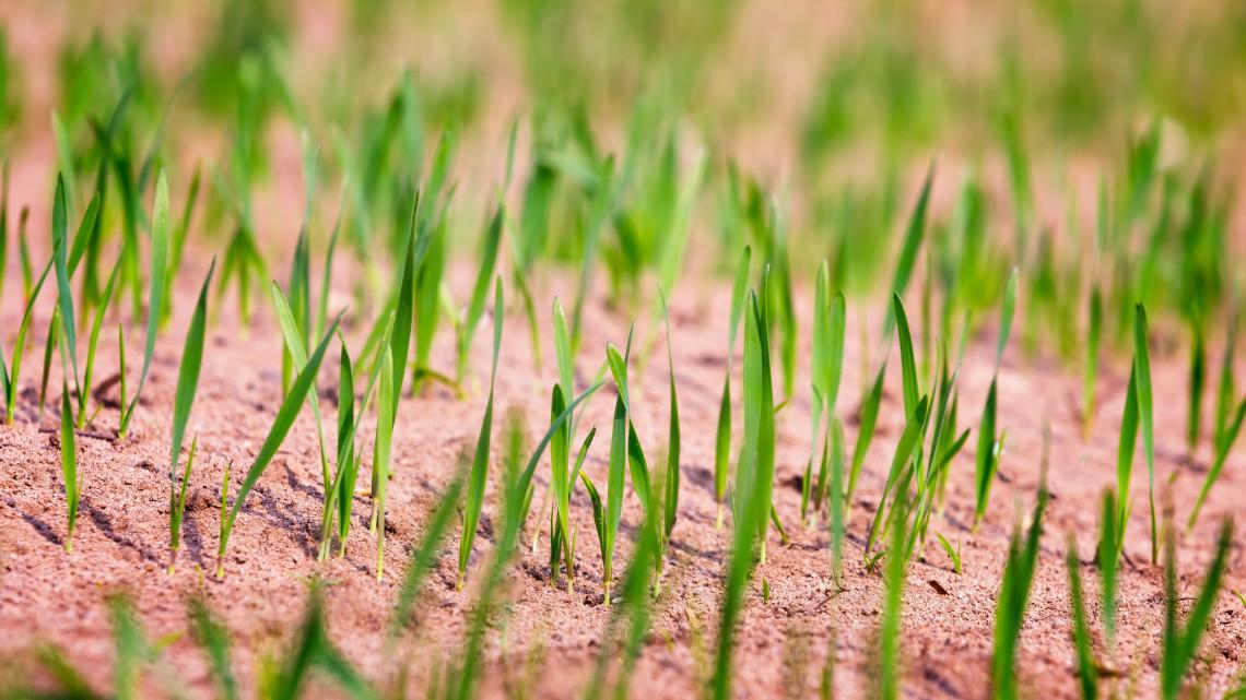 Gyenge lesz az őszi búza termés: ismét emelkedhetnek az árak