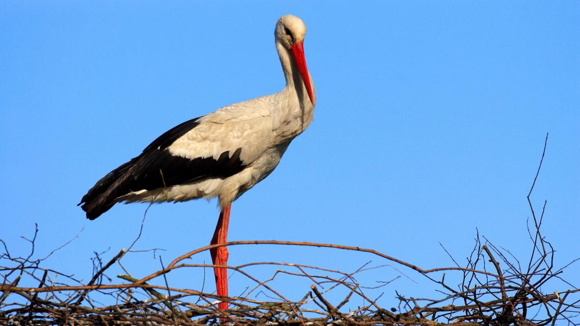 Vége a télnek: megérkezett az első magyar gólya
