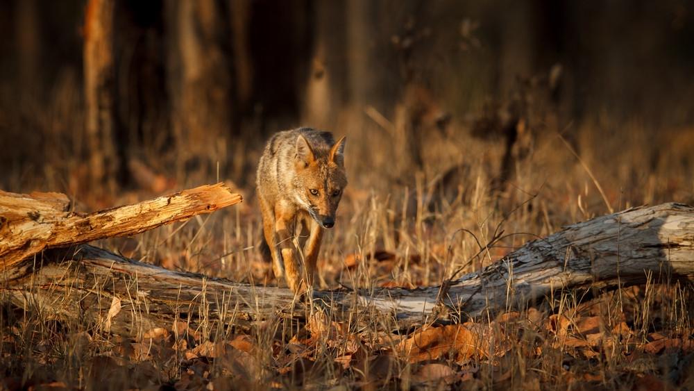 Elszaporodtak az aranysakálok Magyarországon: veszélyben a vadállomány?