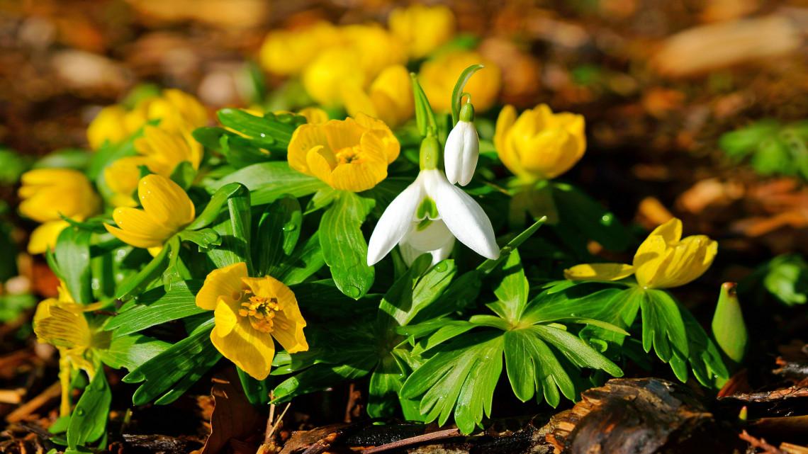Hivatalosan is itt a tavasz: mutatjuk, hogyan pompázik idén a téltemető virág