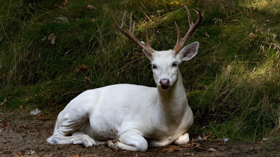 Csodálatos képek: fehér szarvast fotóztak Nógrád megyében