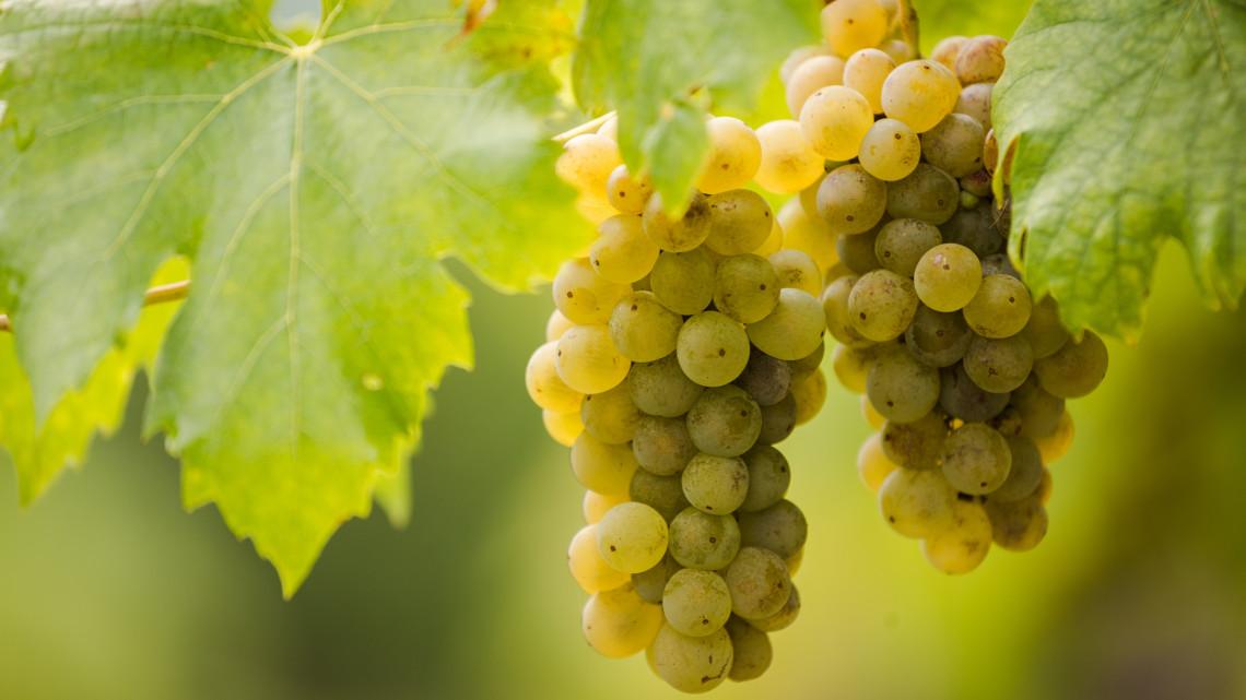 Egyetértenek a borászok: a furmint lehet hazánk kitörési pontja