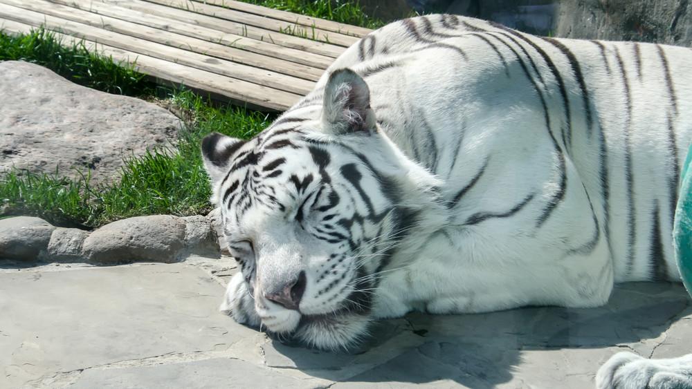 Videón az altatás előtt álló fehér tigris: fogamzásgátló implantátumot kapott