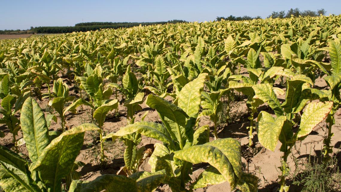Drágult a dohány: a hazai termelést is visszavetette az aszály