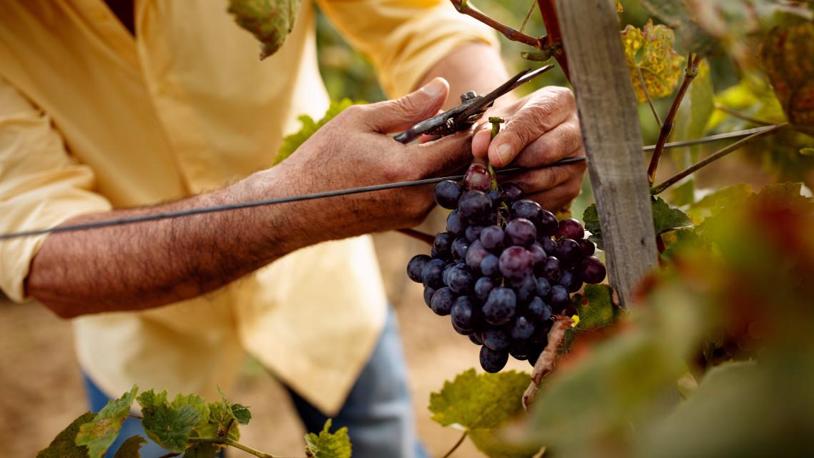 Világszínvonalú bor a cél: komoly támogatások repkednek az ágazatban