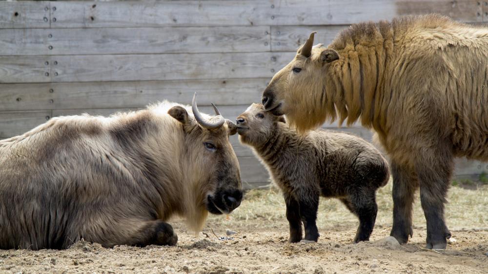 Igazi ritkaság: iker takinok születtek a Nyíregyházi Állatparkban