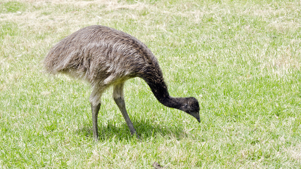 Csavargó cukiság: szabadon cselleng egy emu Pest megyében