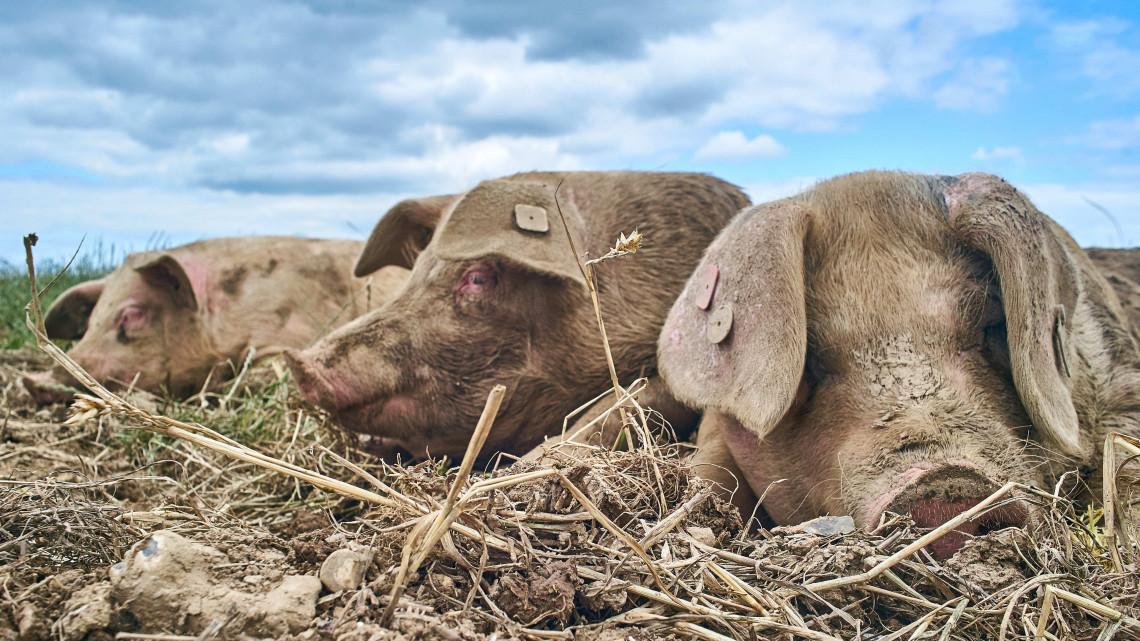 Gyomorforgató: lebukott a sertéstelep, ezzel etették az állatokat