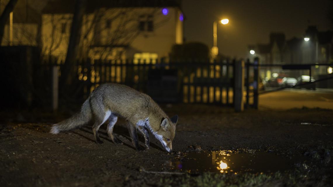 Már csak szemét jut a magyar rókának: kiszorítja a konkurens ragadozó