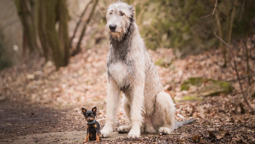 Tényleg butábbak a kistermetű kutyák, mint a nagytestűek? Itt a válasz