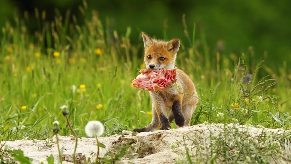 Durván elszaporodtak a rókák az országban: így tartsd őket távol a házadtól
