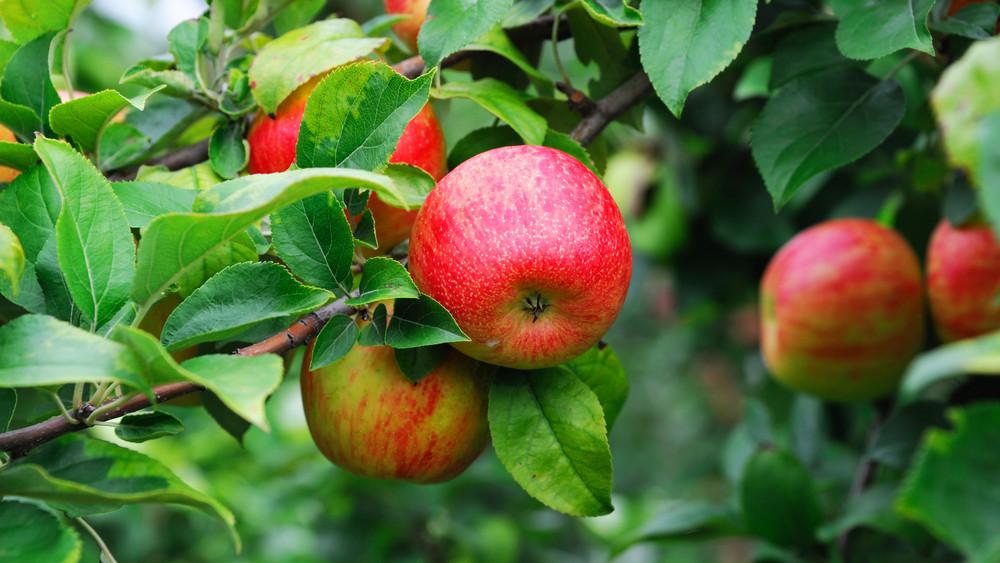 Durván veszteséges a magyar alma: fillérekért sem viszik el