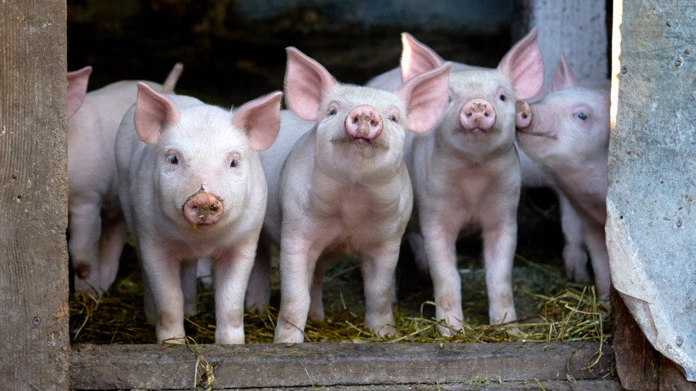 Újítás a sertés állatjóléti támogatások igénylésében: mutatjuk mi változott