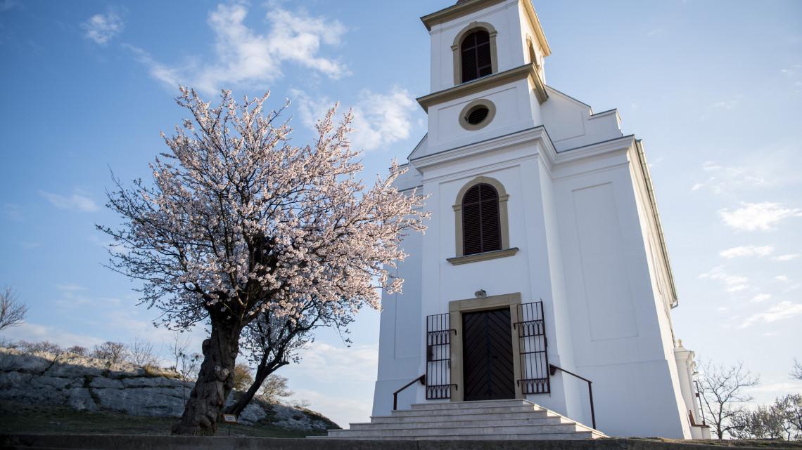 Megvan a győztes: a pécsi mandulafa lett Európa legszebb fája