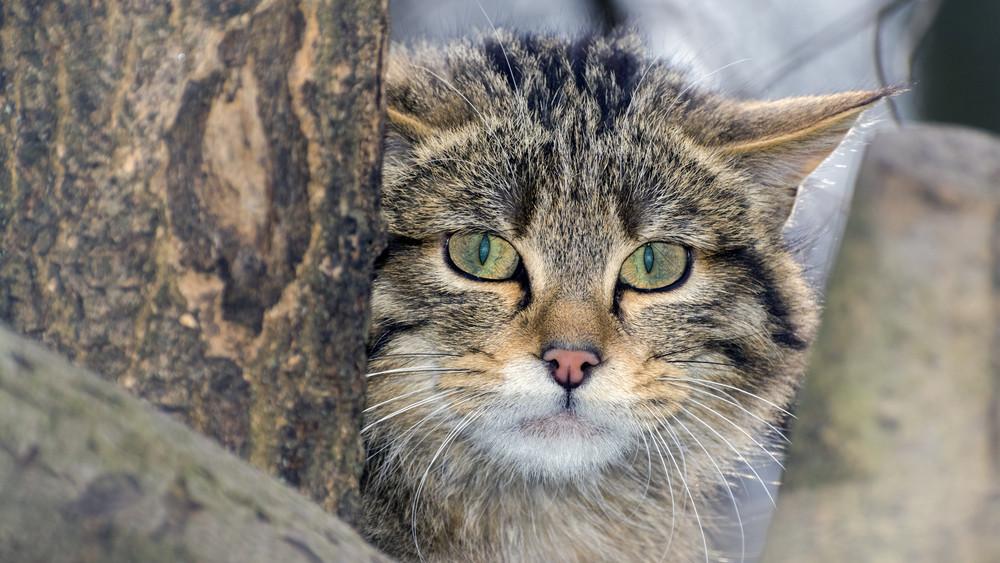 Cicalesen: felmérik a gemenci vadmacskaállományt