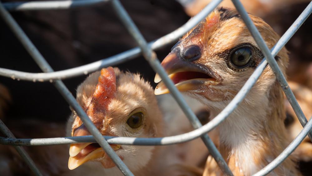 Állattartók, figyelem: újra lecsaphat a madárinfluenza!