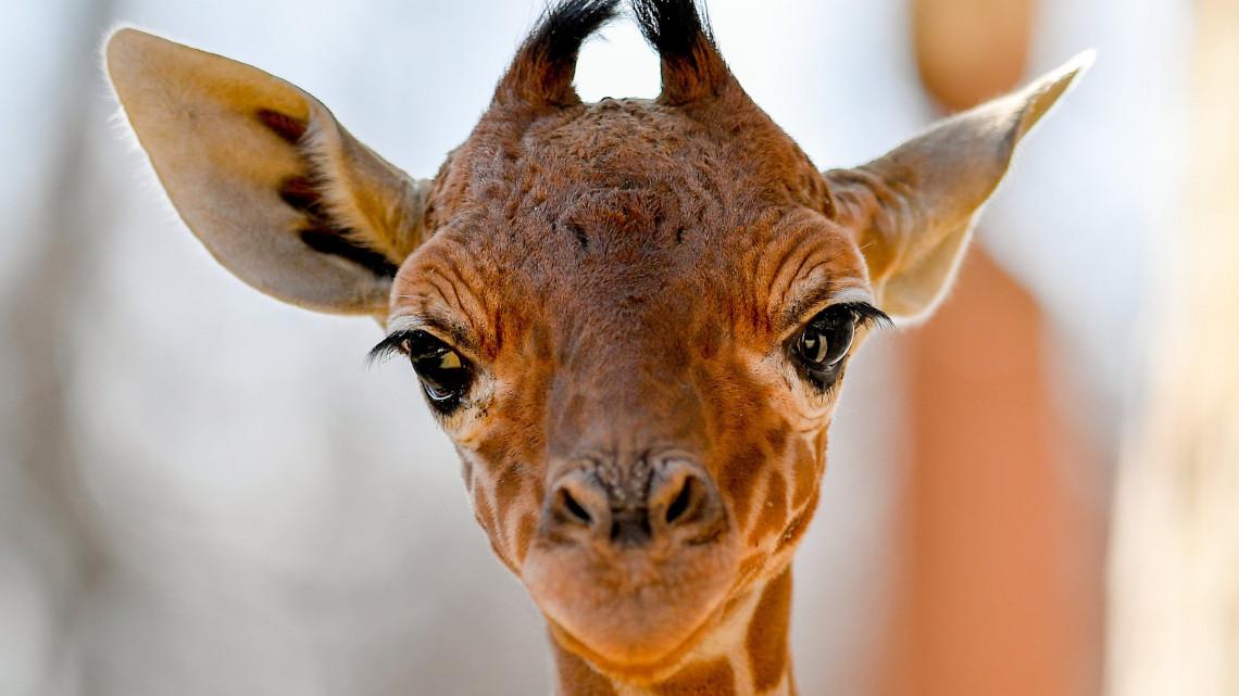 Debrecen dúskál a zsiráfokban: új kiscsikó született
