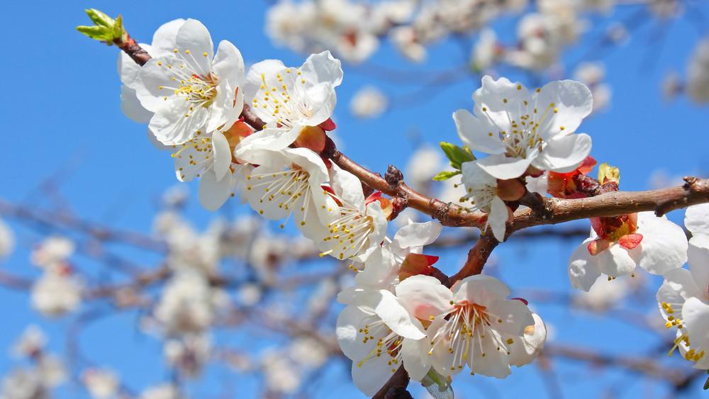 2019 a sárgabarack éve lehet: szépen fejlődnek a gyümölcsfák