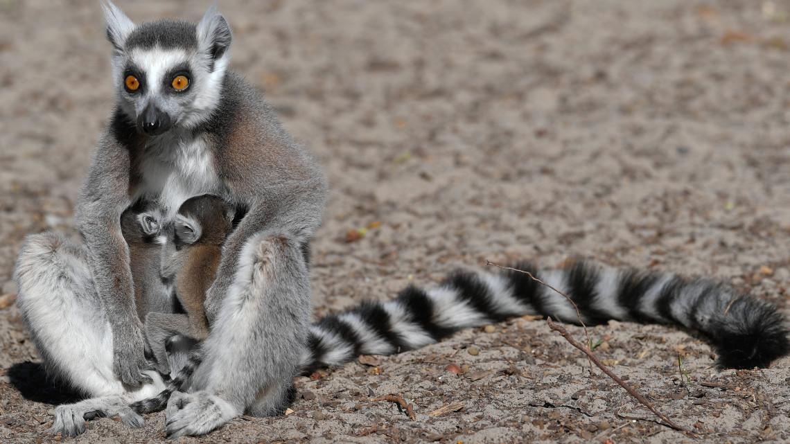 Irány a debreceni állatkert: gyűrűsfarkú iker makibébik születtek!